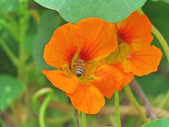 Burbank, Californien: Nasturtium in Parking Lot