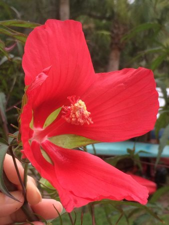 Blue Heron Inn: A native hibiscus that Bill grew from a seed