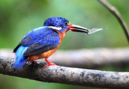 Osman's Homestay: Common Kingfisher