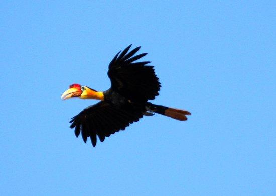 Osman's Homestay: Wrinkled Hornbill