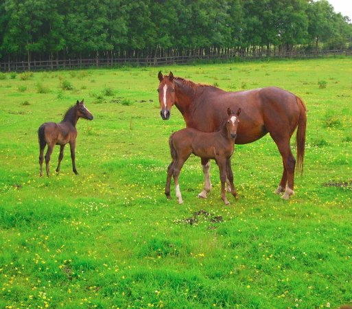 Loughrea, Ireland: Mare and foals