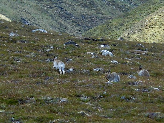 Aviemore, UK: Mountain hare on our all day wildlife tour