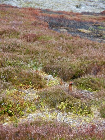 Speyside Wildlife : Found red grouse on our all day wildlife tour