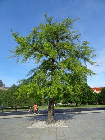 Malmo Opera : Gingko træet