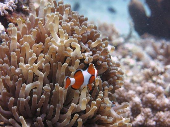 Badladz Dive Resort: anemone-fish-indi-divers-perth-2017-badladz-scuba-diving-puerto-galera