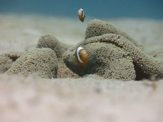 Badladz Dive Resort: anemone-fish-2-indi-divers-perth-2017-badladz-scuba-diving-puerto-galera-23