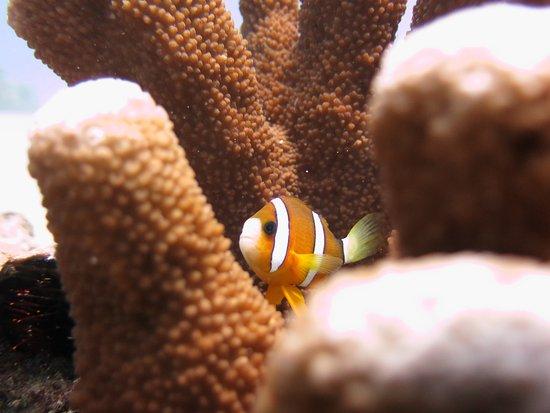 Badladz Dive Resort: anemone fish 3