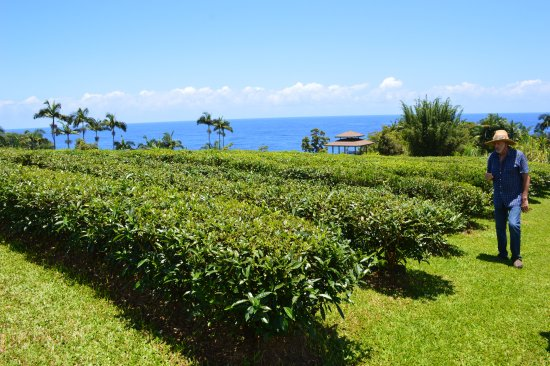 Papaikou, Hawái: The tea garden.