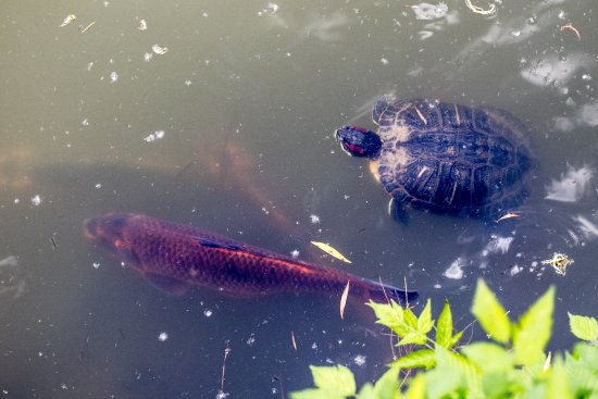 Butterfly World & Gardens: Koi and Turtle in Turtle Pond