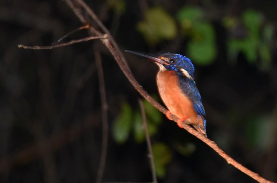 Kinabatangan District, Malasia: Blue Eared Kingfisher