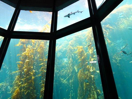 monterey bay aquarium sea kelp forest
