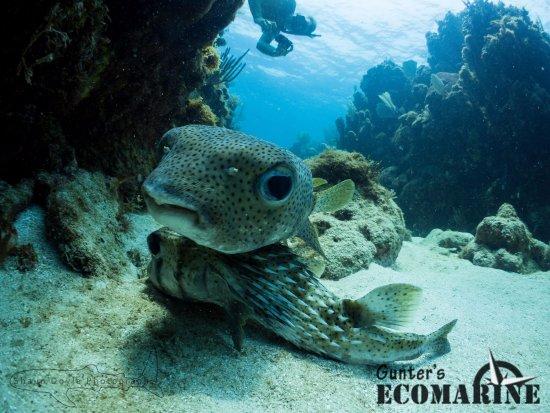 Utila, Ονδούρα: Two Porcupinefish