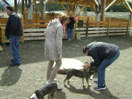 Tagish, Canadá: Petting the puppies.