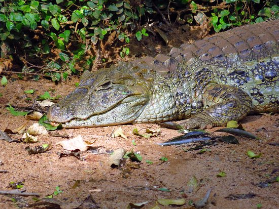 382b06fe8fb4 Broad-snouted Caiman - Picture of Parque das Aves
