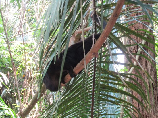 Orange Walk, Belize: Howler Monkey