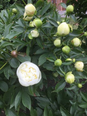 The Pebble Bed & Breakfast: I love my peonies