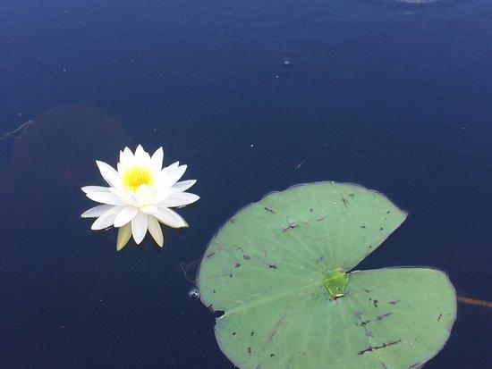 โฟล์กสตัน, จอร์เจีย: Water lily next to the boat.