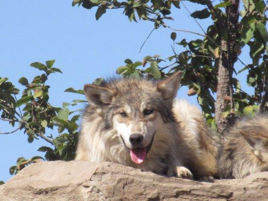 Hermosos Lobos Vivos Fotografía De Museo Del Desierto Saltillo