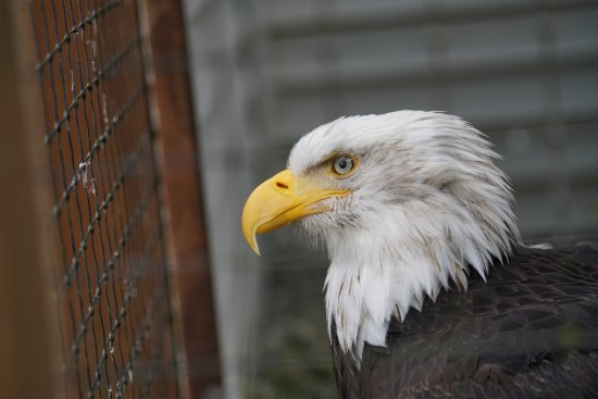 Sitka, AK: This was one of the Eagles in the outside viewing area.