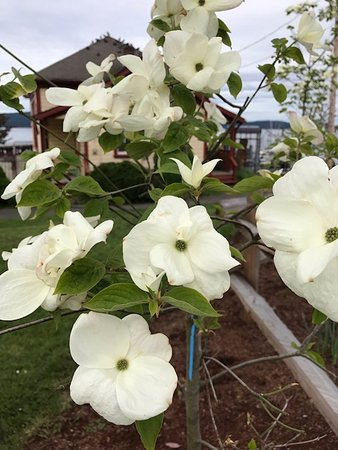 Dogwood flowers beside Crofton Hotel, 1534 Joan Avenue, Crofton, British Columbia