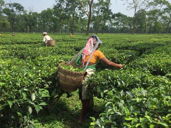 Balipara, India: tea pluggers