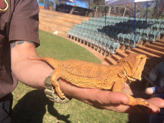 Yulara, Australia: With a Bearded Dragon