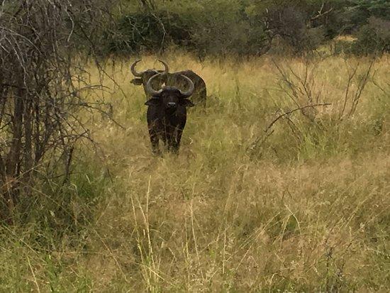 Thabazimbi, Sudáfrica: African Buffalo