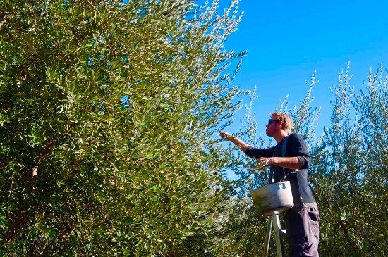 Ojai, Kalifornien: harvest