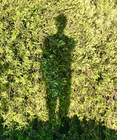 Ojai, Kalifornien: olive leaves
