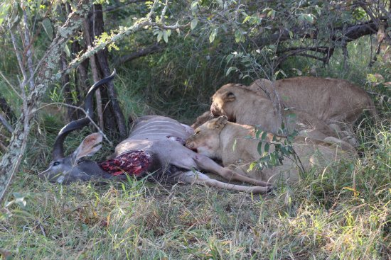 N'kaya Lodge: Lions feasting on Kudu