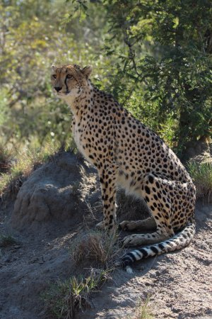 N'kaya Lodge: Female cheetah