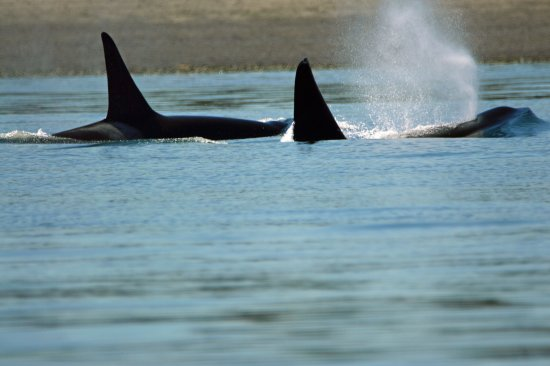 Landmark Orcas Island: Whale watching-