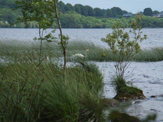 Portumna Forest Park : Cygne sur le Lough Derg vu depuis un des circuits du Forest Park de Portumna