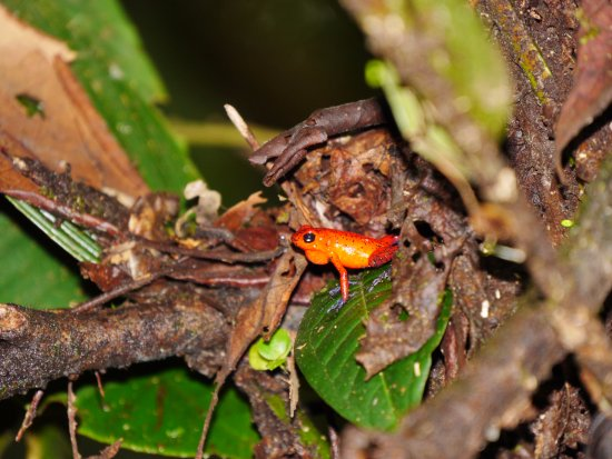 Braulio Carrillo National Park, Kosta Rika: frog