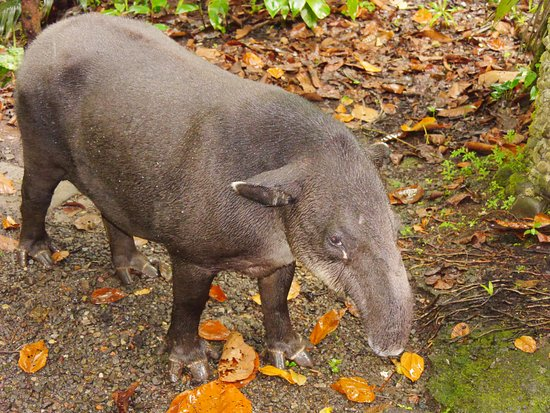 Braulio Carrillo National Park, Kosta Rika: tapir