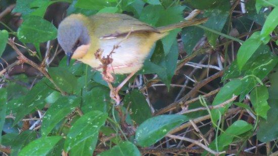Themba's Birding and Ecotours: Rudd's Apalis