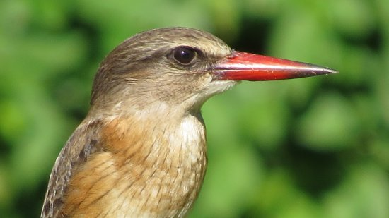Themba's Birding and Ecotours: Brown-Hooded Kingfisher