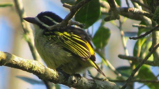Themba's Birding and Ecotours: Yellow-Rumped Tinkerbird