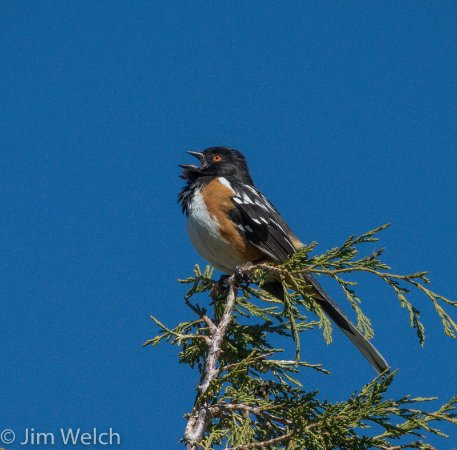 Moffat, CO : Spotted Towhee