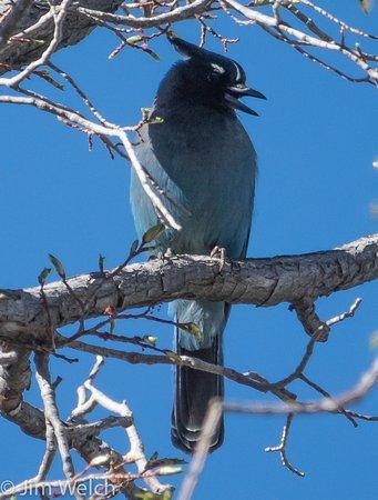 Moffat, Колорадо: Steller's Jay
