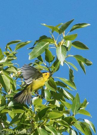 Moffat, CO: Wilson's Warbler