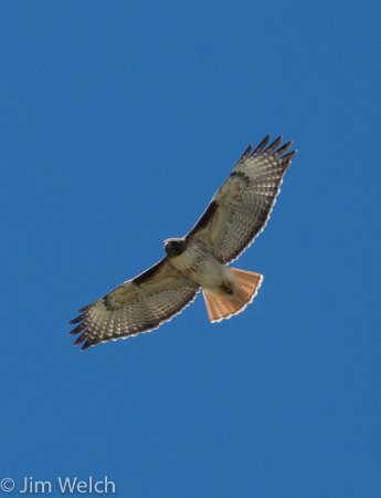 Moffat, CO: Red-tailed Hawk