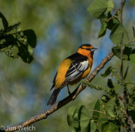 Moffat, CO: Bullocks Oriole
