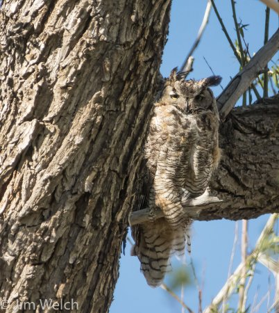 Moffat, CO: Great Horn Owl