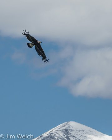 Moffat, CO: Golden Eagle Juvenile