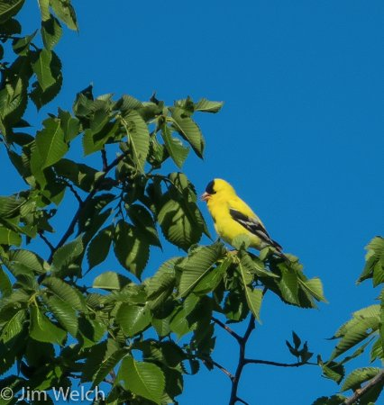 Kyle, Dakota del Sur: American Goldfinch