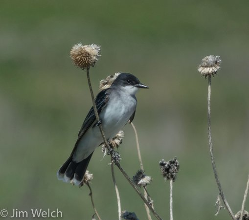Kyle, SD: Eastern Kingbird
