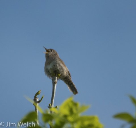 Kyle, SD: House Wren