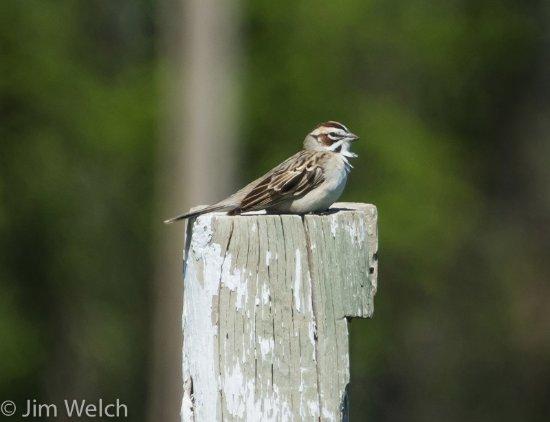 Kyle, Dakota del Sur: Lark Sparrow