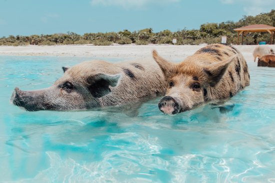 Exuma Water Tours: The swimming Pigs